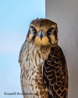 SILVER A GRADE OPEN -  Desert Hawk