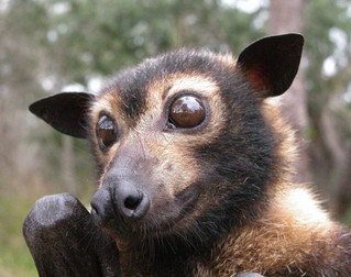 Federal inquiry into flying fox management
