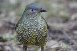 Female Bower Bird by  David Maltby