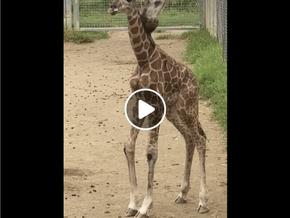 New baby giraffe for Mogo Wildlife Park