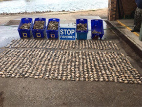 $9,000 worth of abalone seized from alleged syndicate