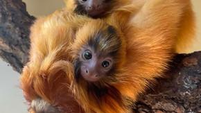IT'S TWINS! Rare Golden Tamarin Twins Born at Mogo Wildlife Park