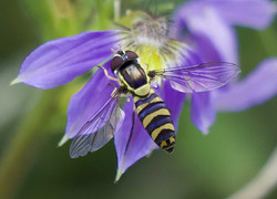 Silver - Hoverfly v3 by Phil Warburton