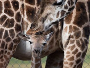 Mogo Zoo welcomes baby Karn