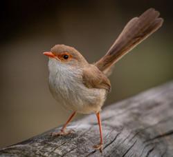 ION - Superb Fairy-wren by Beth Westra