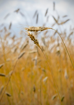 Gold - The rye stands tall by Beth Westra