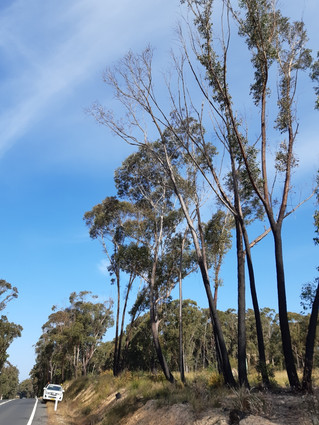 'Secondary wave' of tree deaths post-fires