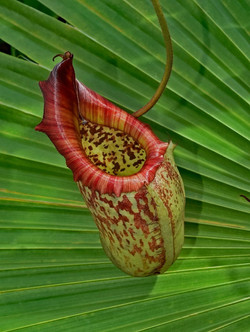 S_Pitcher Plant by Ric Banister