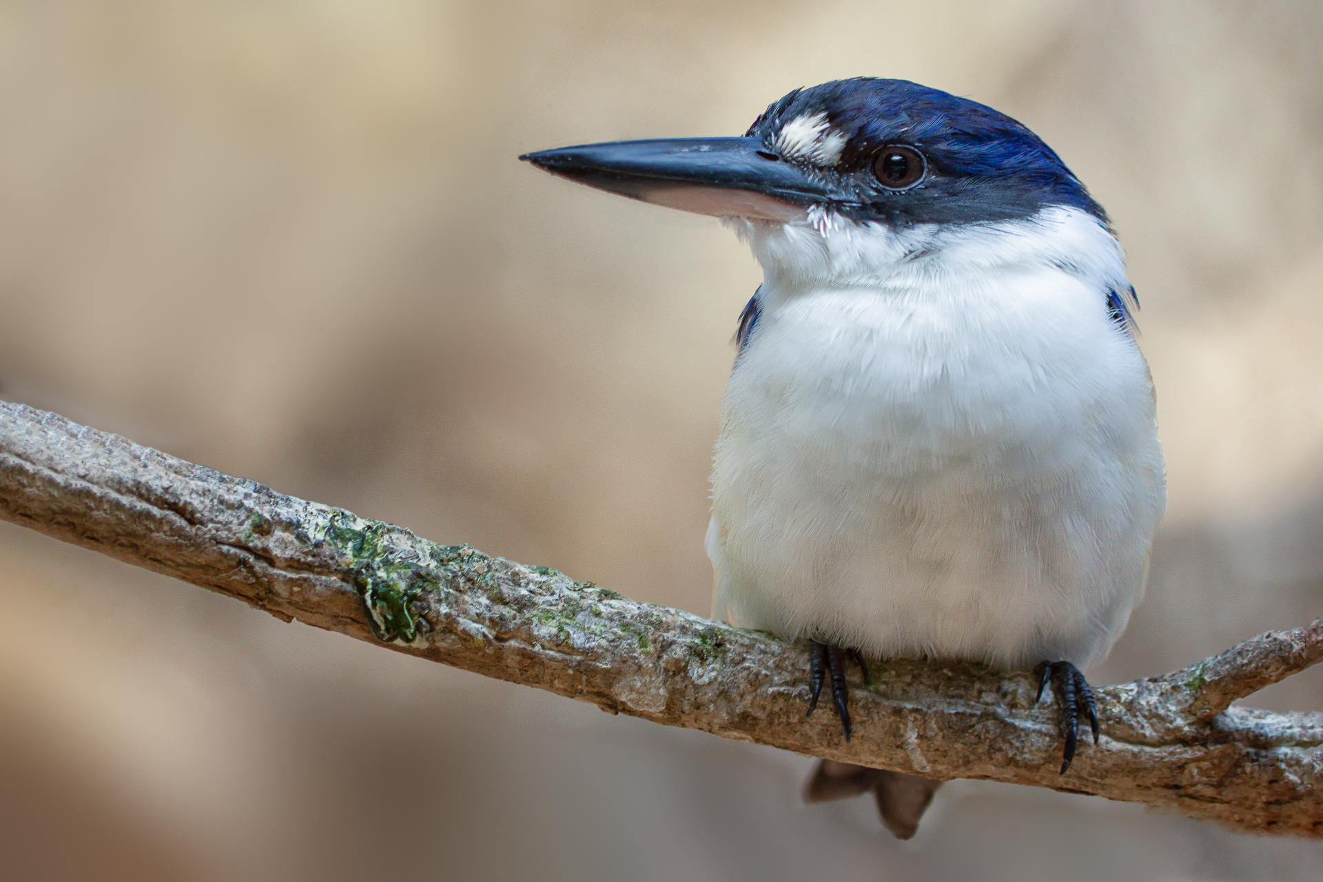 Forest Kingfisher- Dave Kemp
