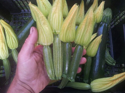 Fine food from Fulcrum Farm: Zucchini