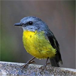 Eastern Yellow Robin by Shirley Gunter