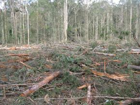 Native forest logging at Mogo update