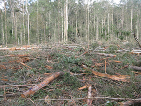 Native forest logging at Mogo update