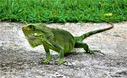 iguanes-guadeloupe