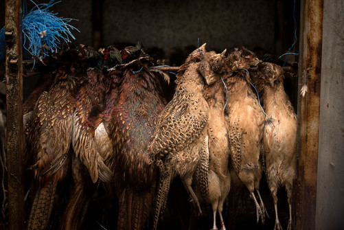 exhibition.pheasant.jpg
