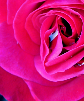 rose%2520w%2520droplets_edited_edited_edited.png