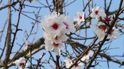 almond-blossom-5986293.jpg