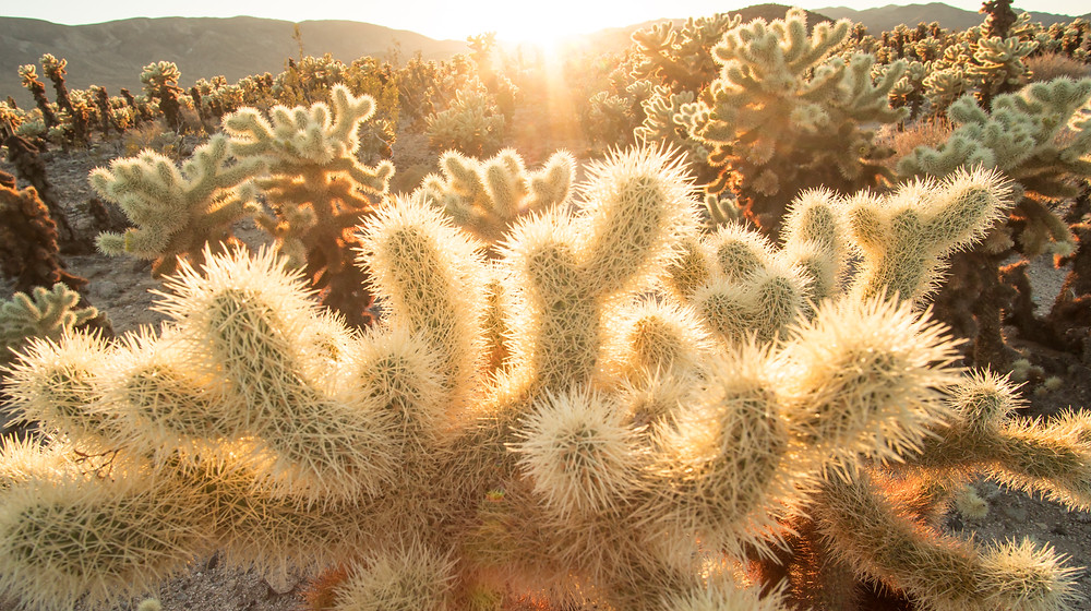 Cholla cactus patch in Joshua Tree National Park