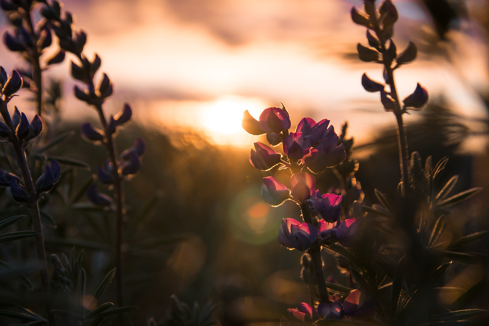 Lupine and golden sun rays in the desert, June 2019