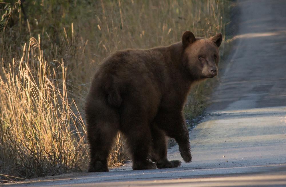Cinnamon bear on Moose-Wilson Road