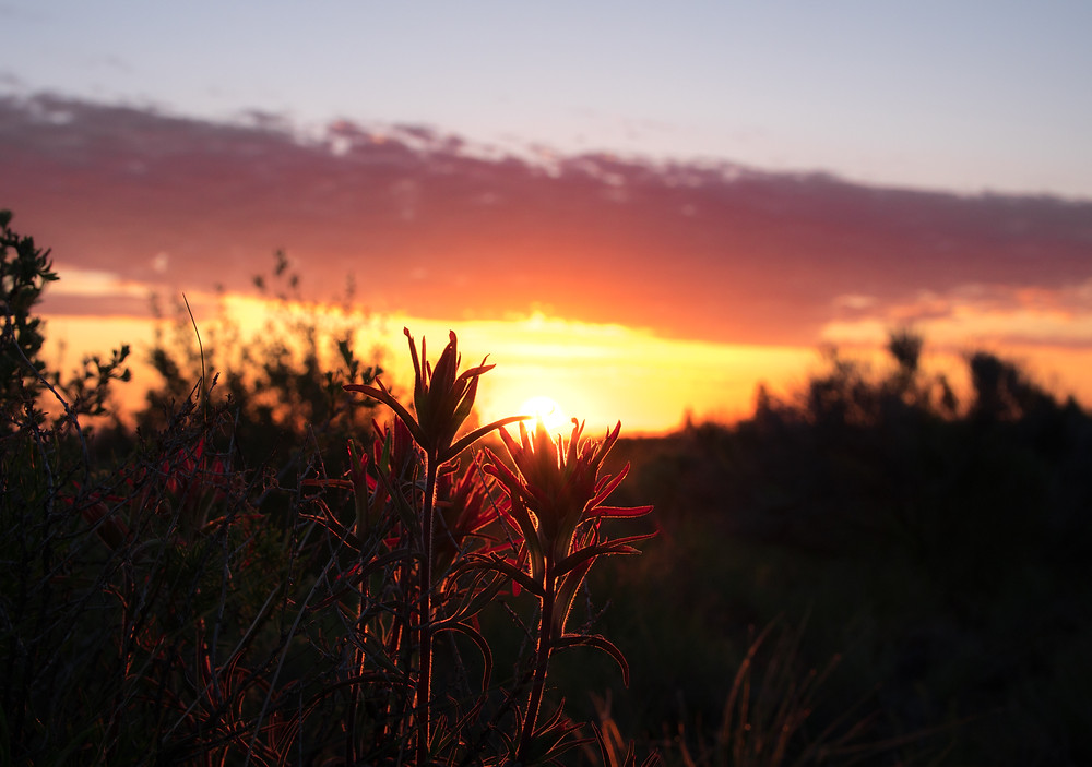 Paintbrush blossoms and sunrise in the desert, June 2019
