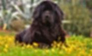 Newfoundland-Dog-1.jpg
