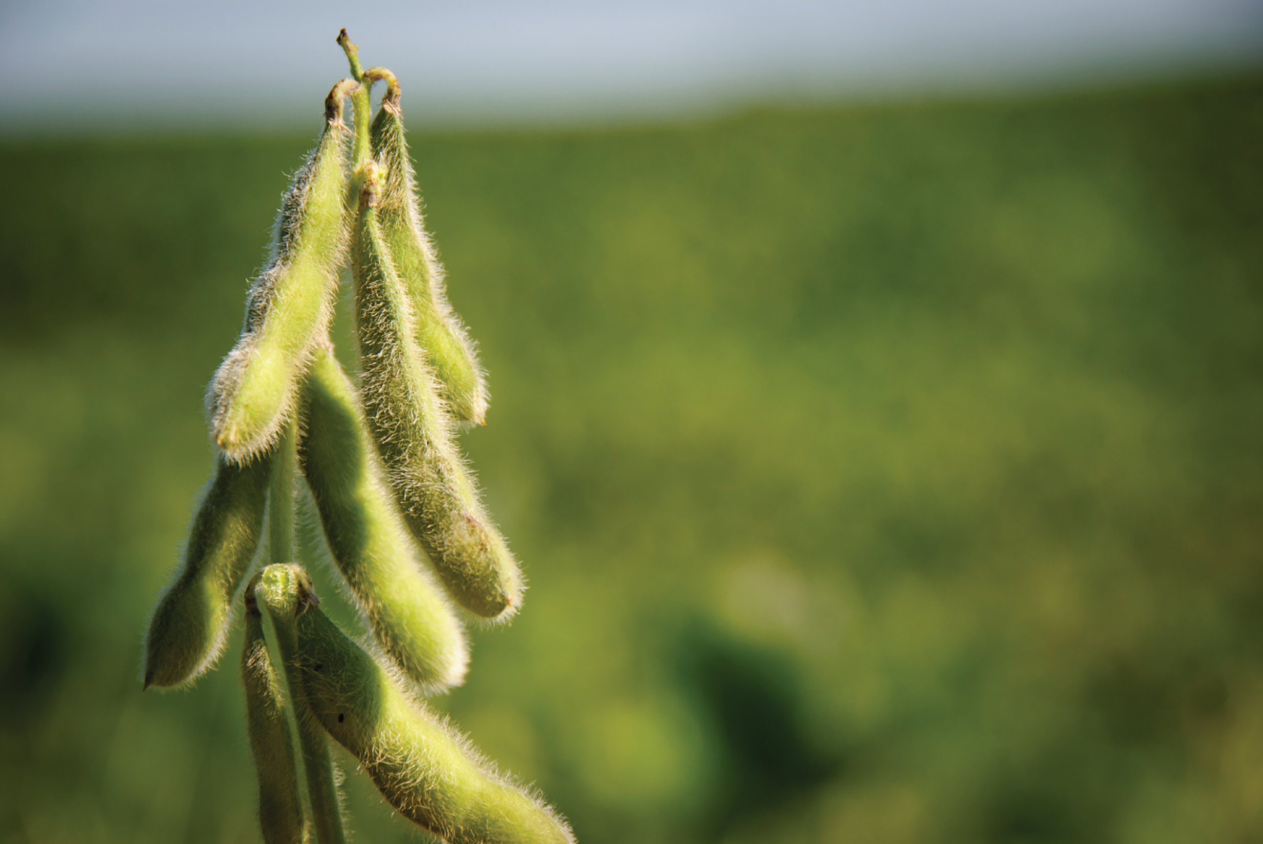 Soybean-image-FTO