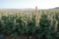 kaiima's compact hybrid varieties