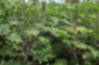 Castor varieties growing worldwide