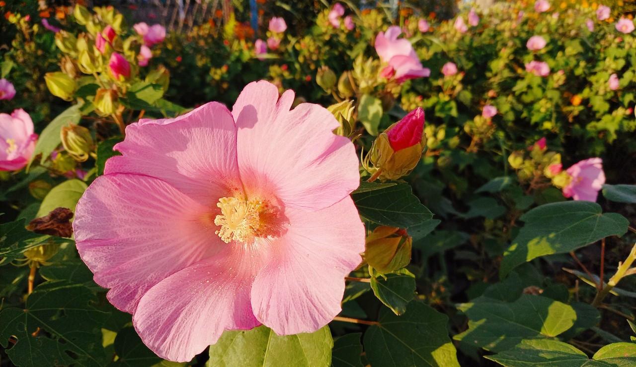 ピンクのお花2.jpg