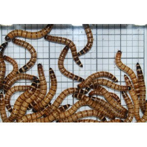 Large Giant Mealworms.....from