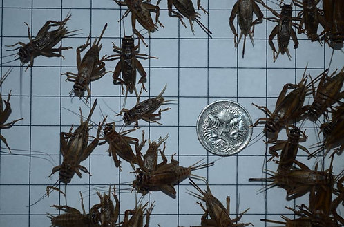 Live Large Crickets.....from