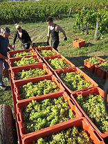 Grape harvest at Domaine de la Touraize, La Jura, France