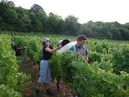 Hand picking of grapes at Domaine de la Touraize La Jura France