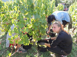 Hand picking grapes at Domaine Christophe Perrin