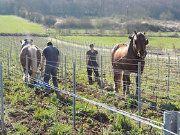 Cultivating the vineyard soil by horse at Domaine Christophe Perrin