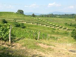 Buttrio vineyards