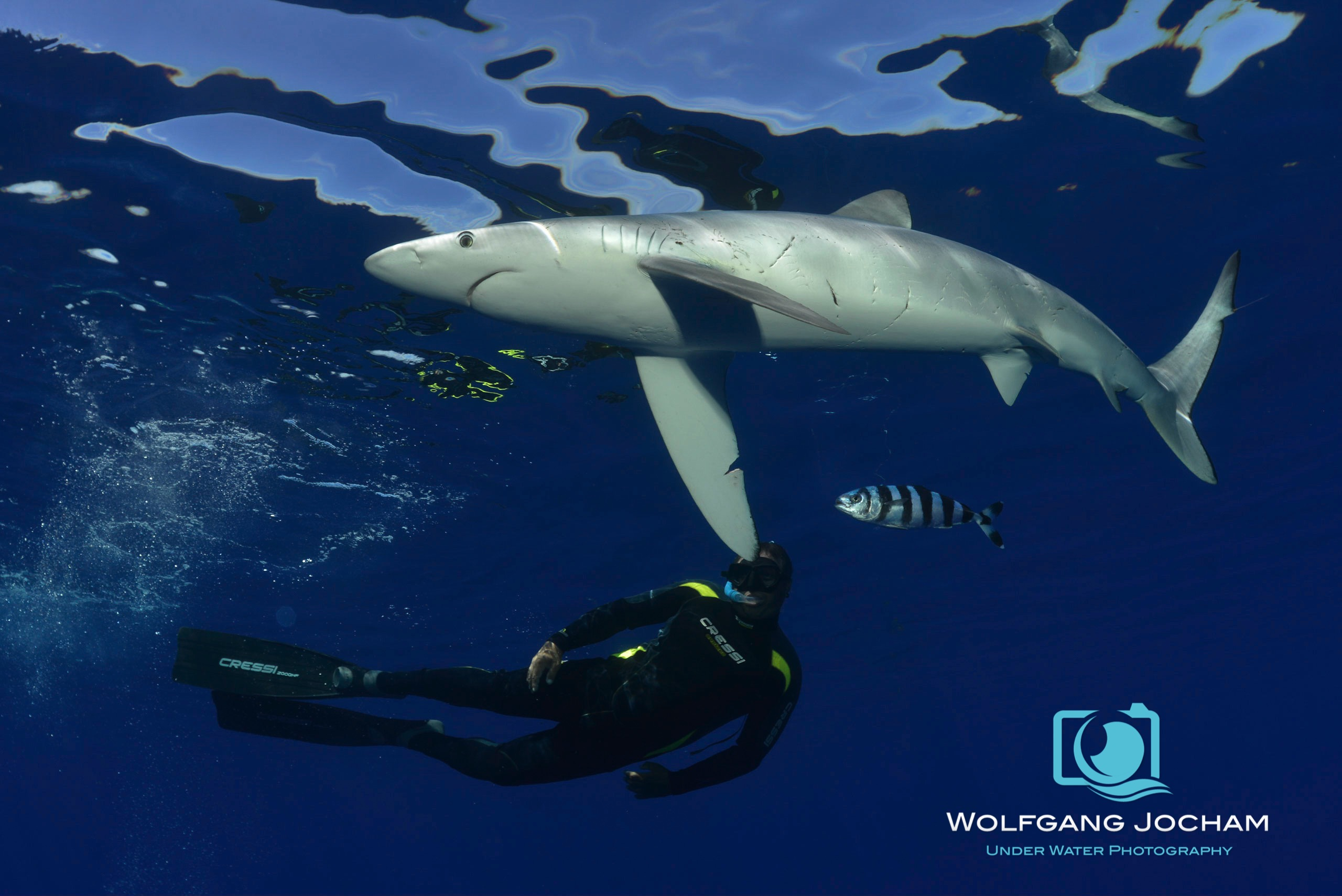 Blue shark and freediver