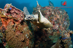 Turtle @ USAT Liberty