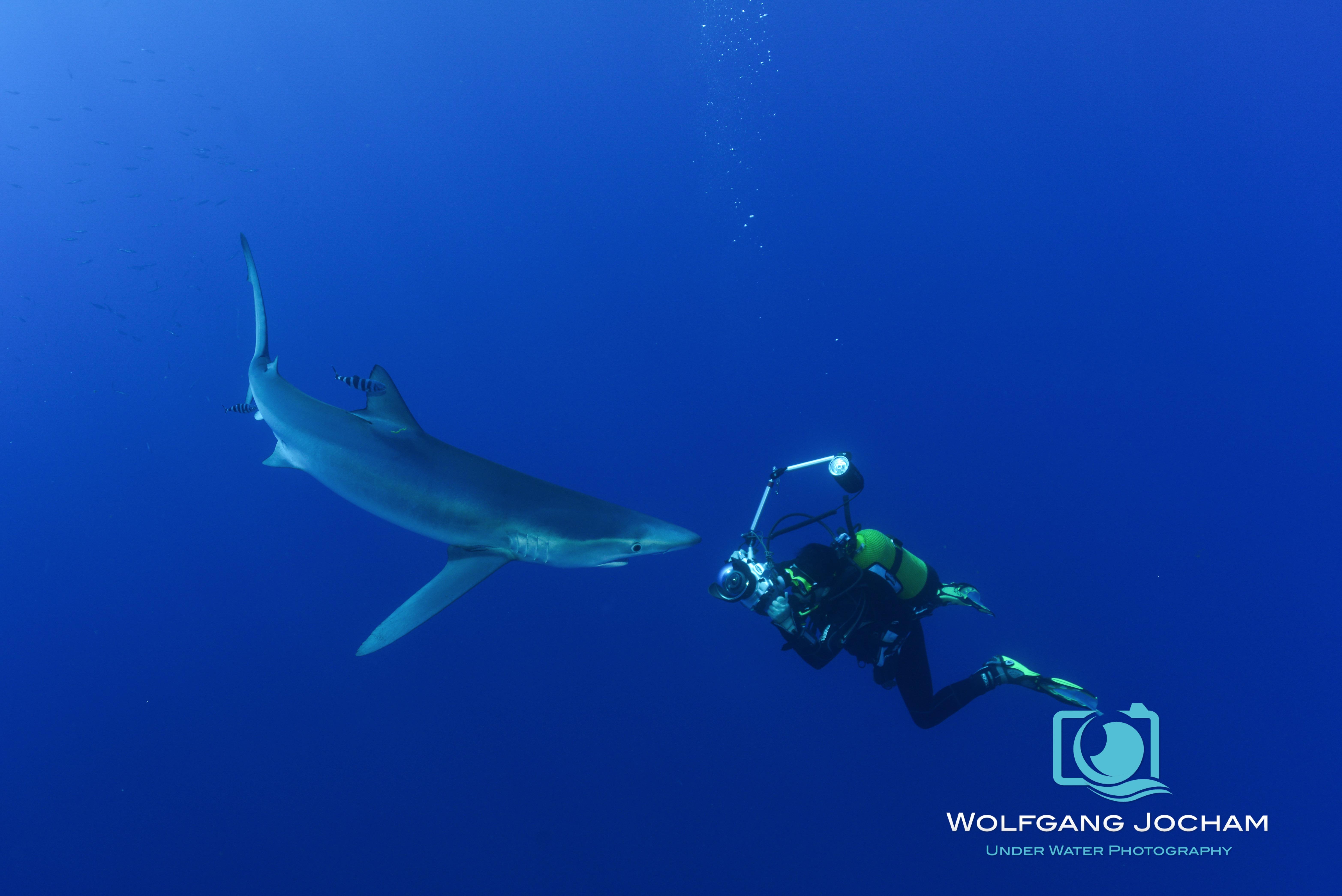 Blue shark and a photographer