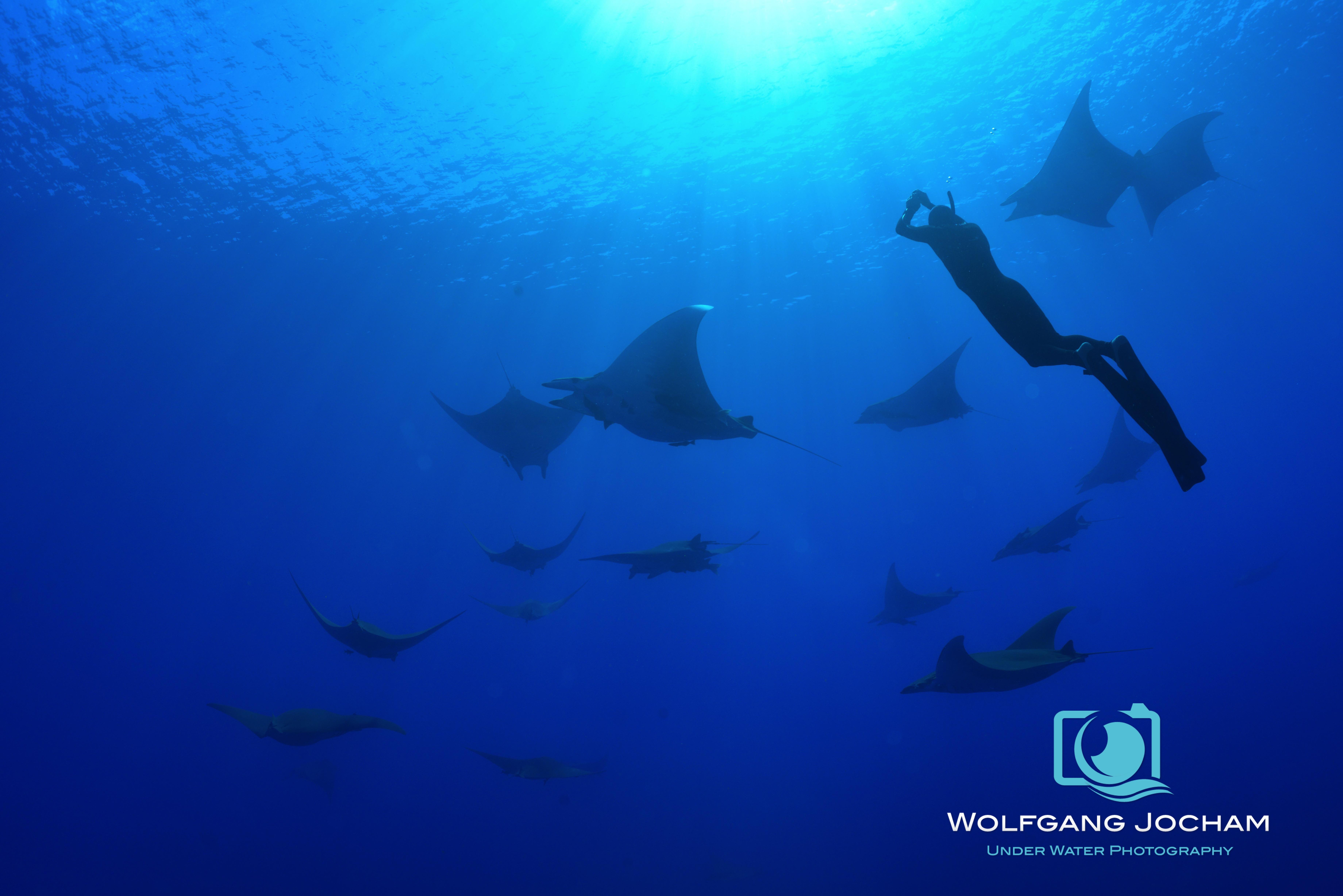 Mobulas and freediver