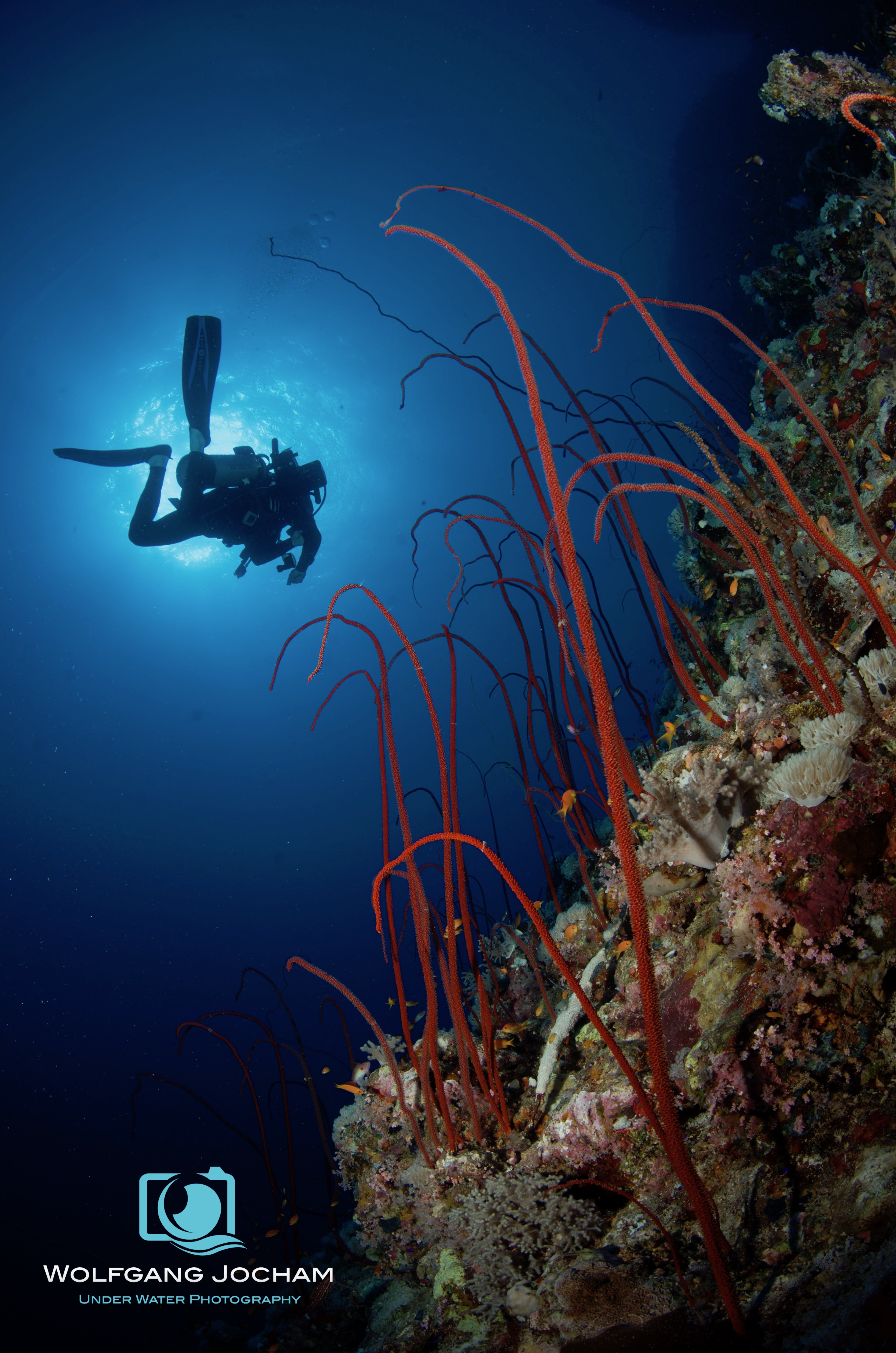 Whip coral forest