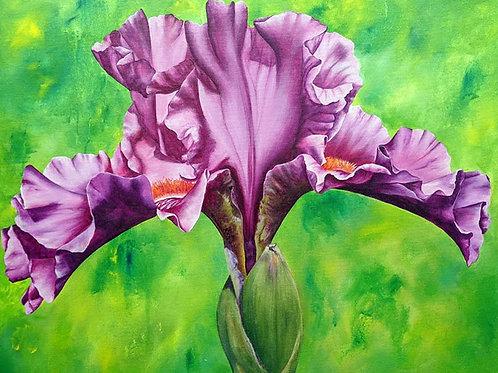 Ruffled Magenta Iris - 24x30