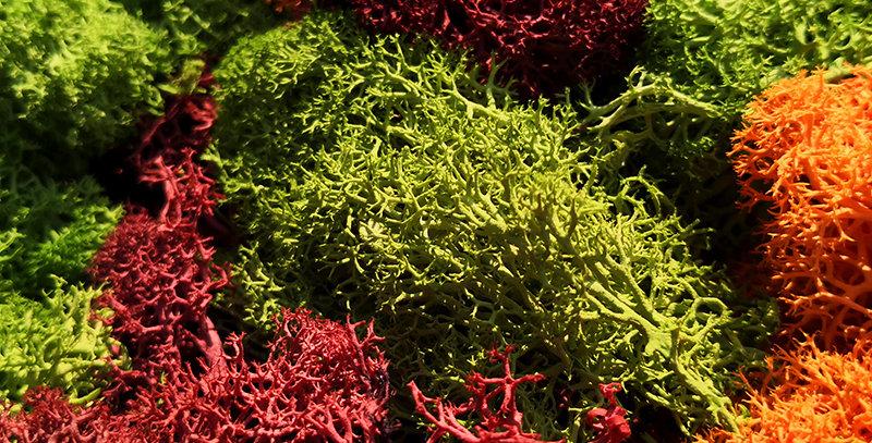 30g Lichen Moss.