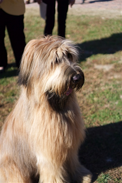 Liberty, a briard, is the mascot for Colonial Williamsburg.