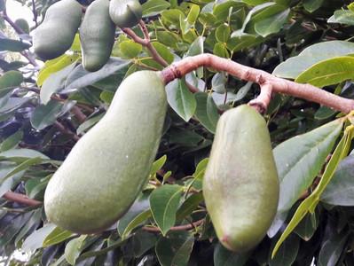 Jatobá, a árvore com frutos duros