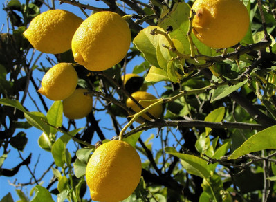 Limão-siciliano: o limão verdadeiro