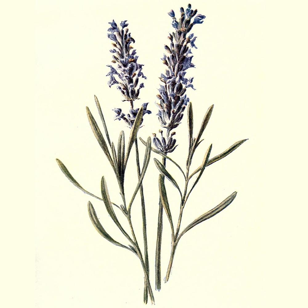 Ilustração: Lavandula angustifolia. Familiar garden flowers, London; Cassell,1907.