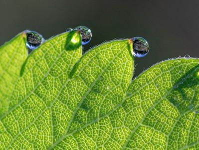 Por que tem gotinhas de água na margem das folhas?