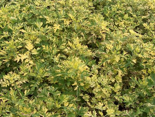 Artemisia (wormwood)